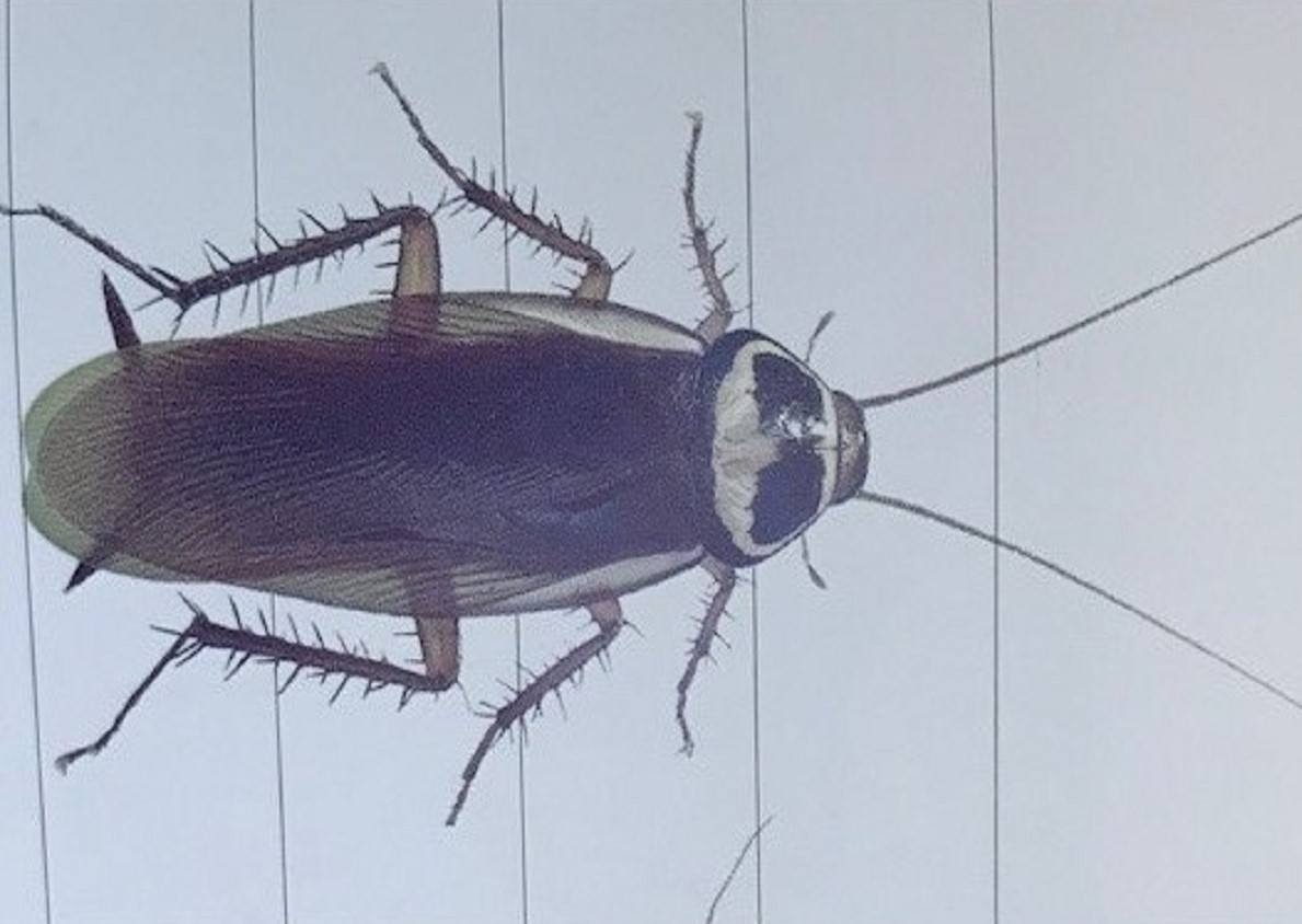 Image of the Australian cockroach