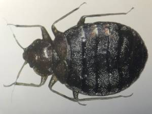 An adult bedbug get a professional bed bug treatment to get them out of your home