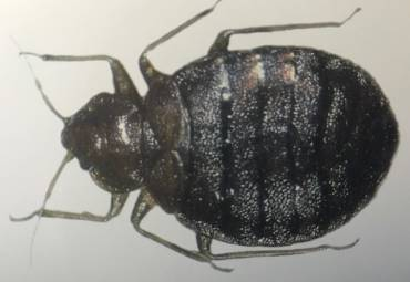 Is Heat Effective Against Bed Bugs