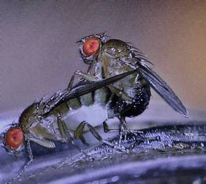 Fruit flies copulating