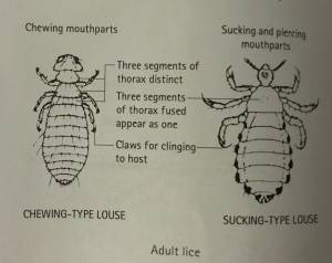 Picture of an adult lice