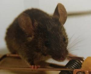 Commercial pest control treatment treating mice