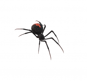 Redback spiders are found in Brisbane