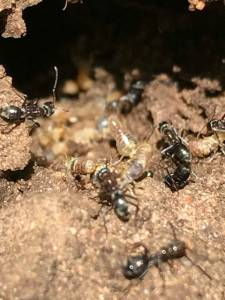 Black ants eating termites so do ants get rid of termites