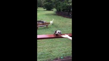 Feeding The Local Kookaburra
