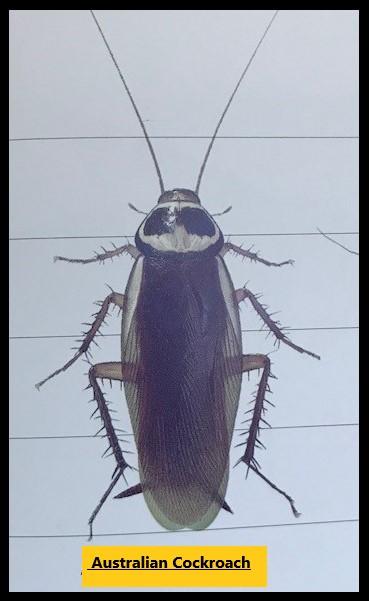 The Australian Cockroach