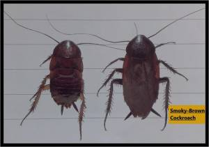 The smoky brown cockroach