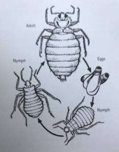 The life cycle of bedbugs