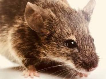 Norway Rat Rattus norvegicus