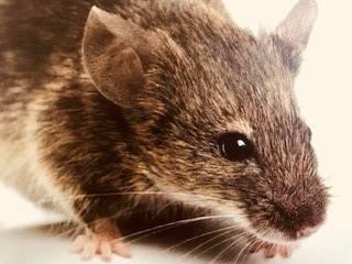 Norway rats rattus norvegicus