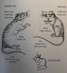 Different Rodent Species - House Mouse - Norway Rat - Roof Rat