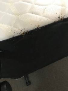 bed bugs on the edge of a bed
