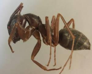 carpenter ant killed by Sunnystate Pest Control
