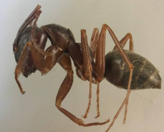 Ants a natural enemy of termites