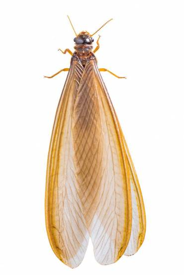 What Are Flying Termites & Will They Eat Your Home.