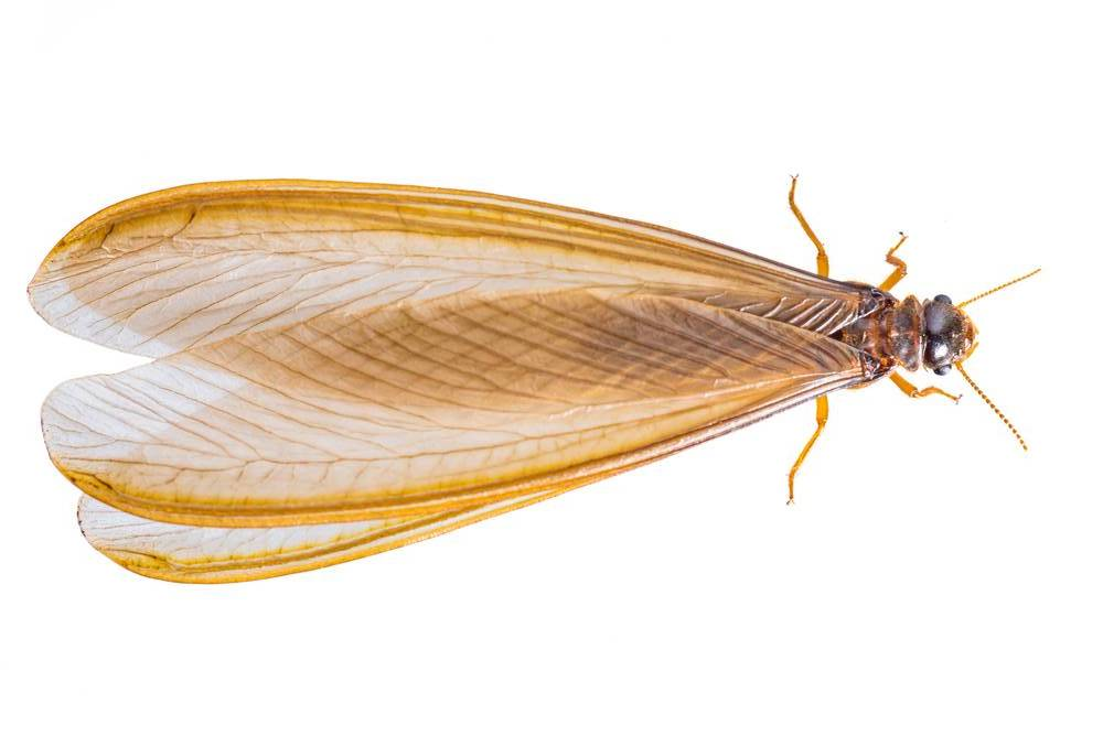 Flying Termites What Are They Should You Be Worried Sunnystate