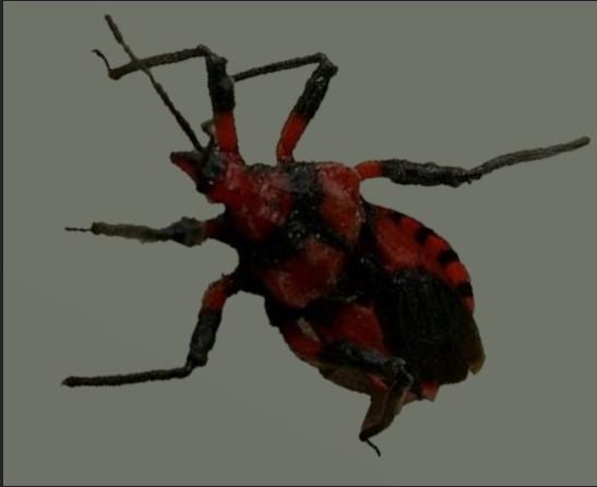 The tegea atropicta natural termite predator