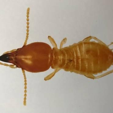 About Subterranean Termites