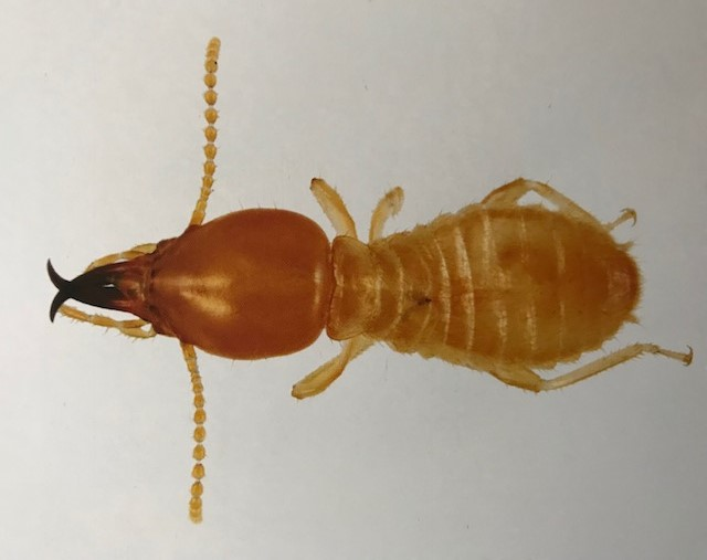 termite Coptotermes acinaciformis