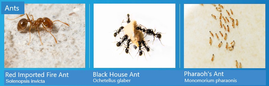 Ants Identification chart showing the Red imported fire ant, Pharaoh's ant and the Black house ant.