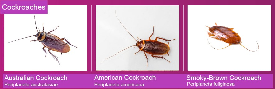 Chart showing the Australian cockroach, American cockroach and the Smoky-brown cockroach