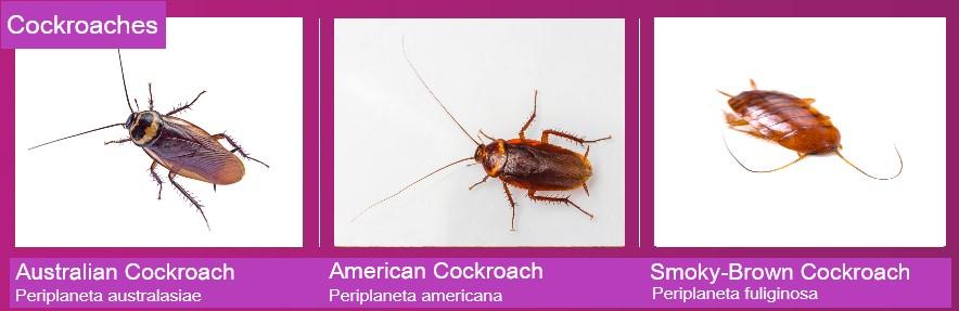Chart showing the Australian cockroach, American cockroach and the Smoky-brown cockroach
