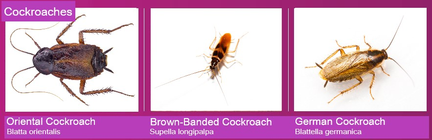 Images of the Oriental cockroach, Brown-banded cockroach and the German cockroach
