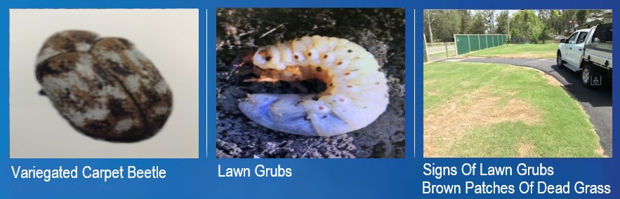 chart showing the Variegated Carpet Beetle & Lawn Grubs
