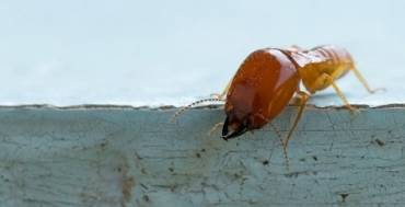 Is Your Home Covered For Termite Damage