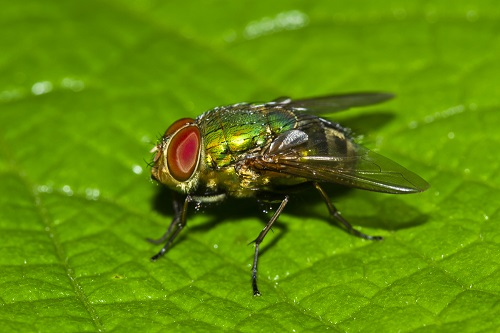 Blow Fly on a green leaf