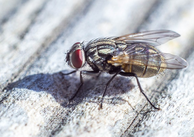 House Fly these flies can spread disease to humans