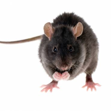 Rodent Control Eliminate Rats & Mice