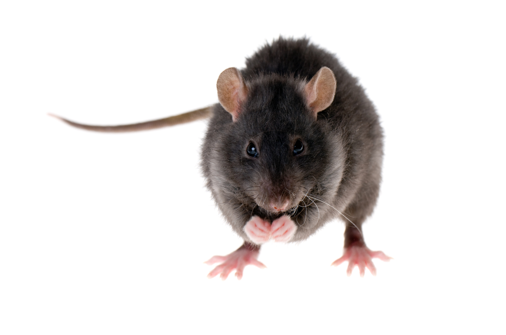 Rodent Control Roof Rat