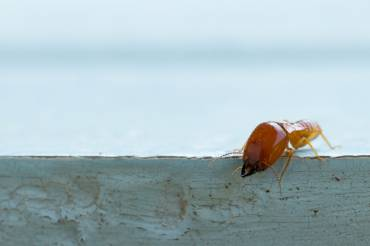 5 Destructive Termites Found In Brisbane