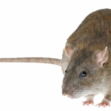 Get Rid Of Rats In The Roof Void