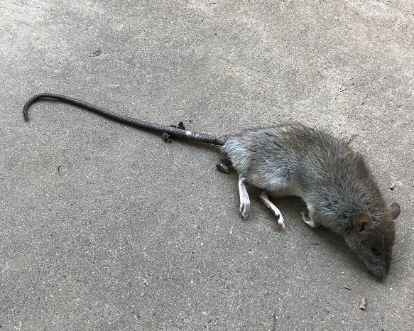 Rodent problem a dead Norway Rat