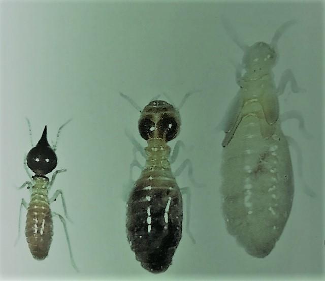 Nasutatermes destructive termites