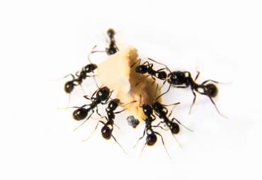 Ants Still Alive