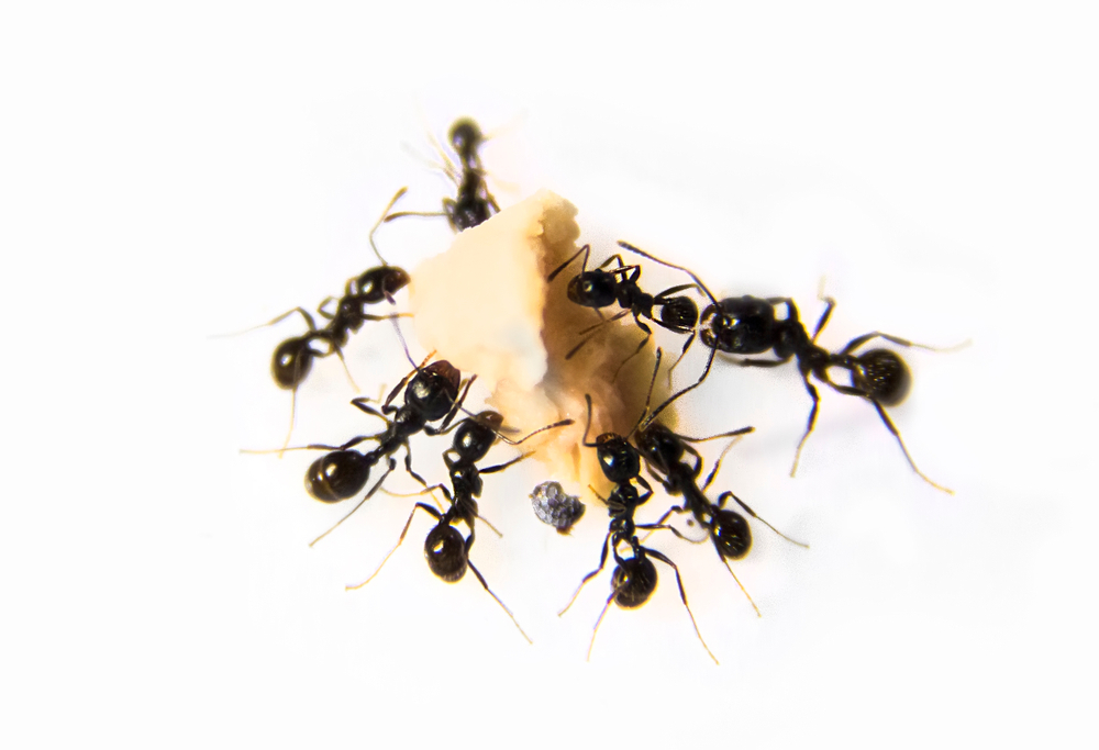 Black House Ant eating food scraps