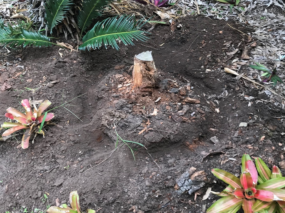 Tree stump being treated for termites