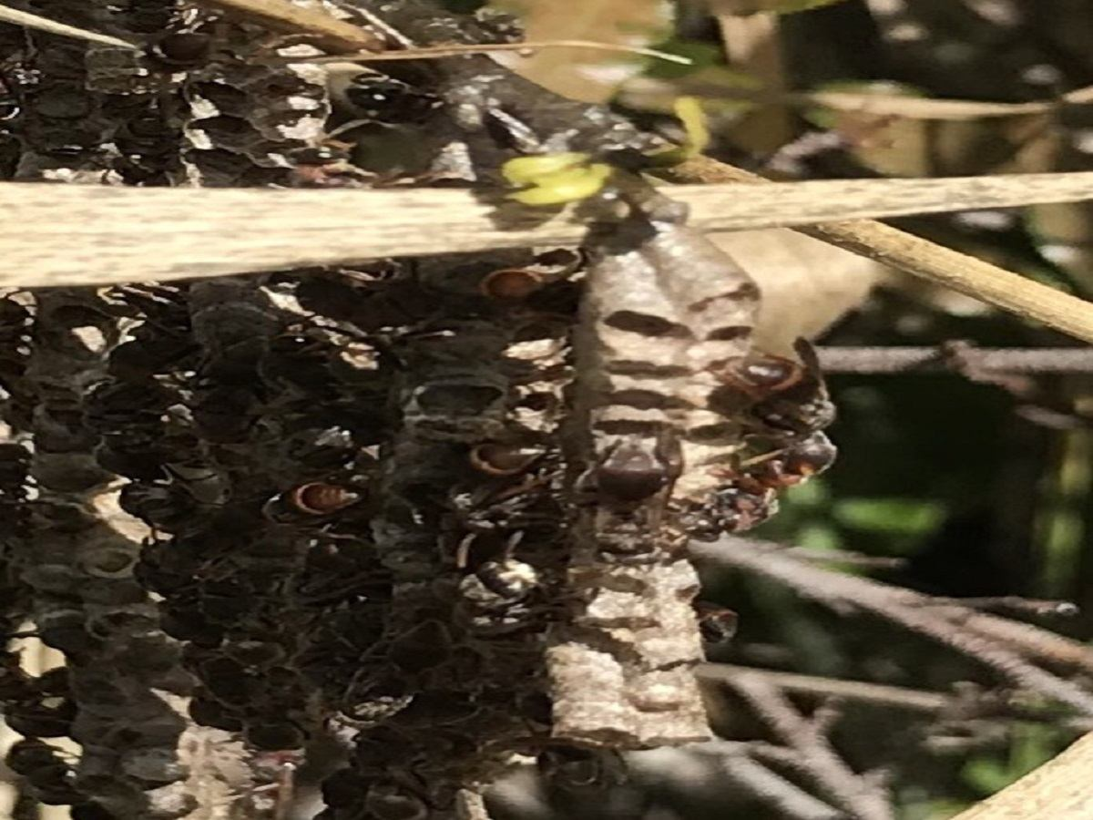 Paper wasps nest hanging in a bush